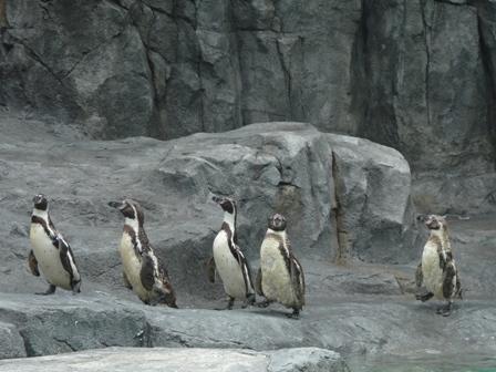 とべ動物園 フンボルトペンギン 1
