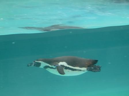とべ動物園 フンボルトペンギン 3