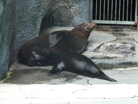 とべ動物園 カリフォルニアアシカ 1