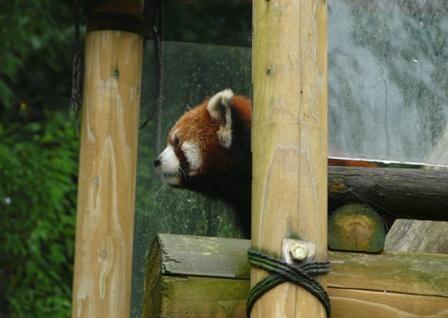 とべ動物園 レッサーパンダ 1