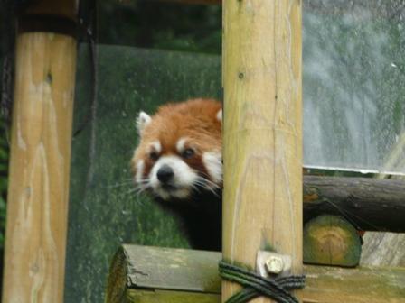 とべ動物園 レッサーパンダ 2