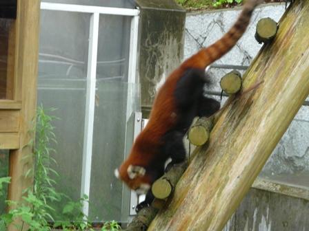 とべ動物園 レッサーパンダ 3