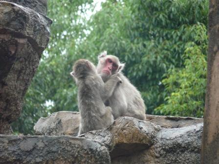 とべ動物園 ニホンザル 1