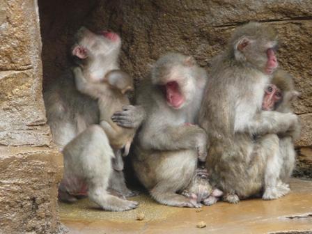 とべ動物園 ニホンザル 3