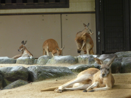 とべ動物園 アカカンガルー