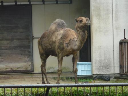 とべ動物園 ヒトコブラクダ 1