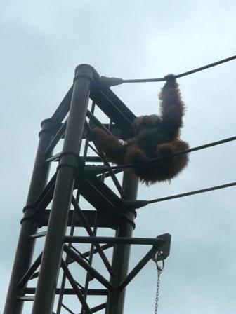 とべ動物園 スマトラオランウータン 3