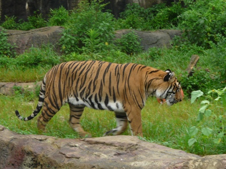 とべ動物園 トラ 1