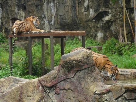 とべ動物園 トラ 2
