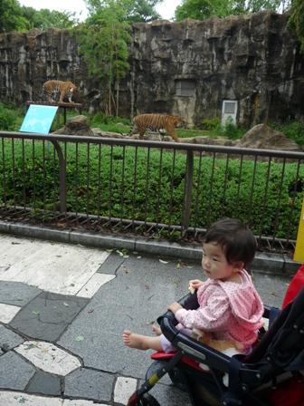 とべ動物園 トラ 3