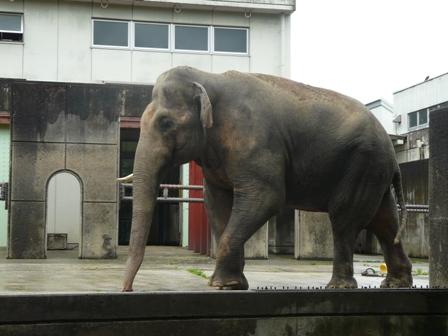 とべ動物園 アジアゾウ