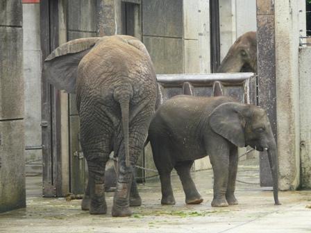 とべ動物園 アフリカゾウ 1