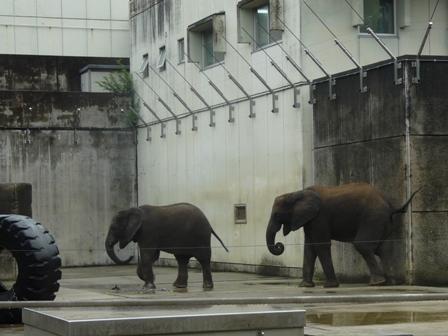 とべ動物園 アフリカゾウ 2