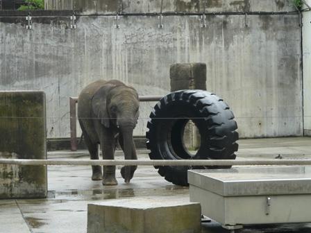とべ動物園 アフリカゾウ 3