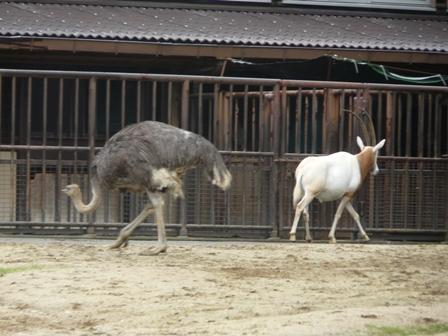 とべ動物園 ダチョウ & シロオリックス