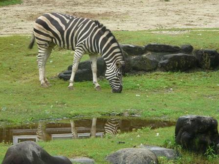 とべ動物園 チャップマンシマウマ