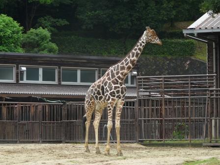 とべ動物園 アミメキリン