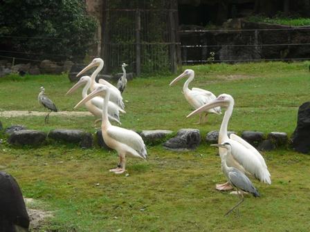 とべ動物園 モモイロペリカン 1