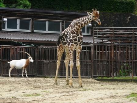 とべ動物園 アミメキリン & シロオリックス