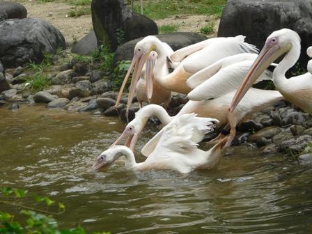 とべ動物園 モモイロペリカン 3