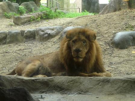 とべ動物園 ライオン 1