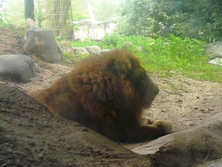 とべ動物園 ライオン 2