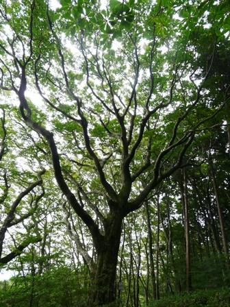 皿ヶ嶺 ブナの木