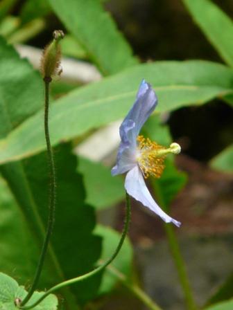 皿ヶ嶺 ヒマラヤの青いケシ 2