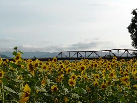 大洲・五郎河原のヒマワリ 1