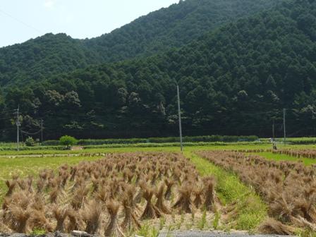 稲刈り後の田圃