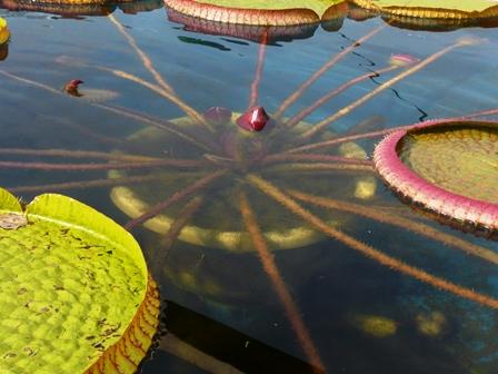 筑波実験植物園 オオオニバス 1