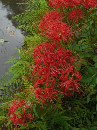 筑波実験植物園 ヒガンバナ 2