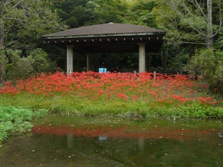 筑波実験植物園 ヒガンバナ 1