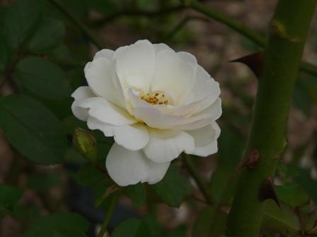 筑波実験植物園 バラ プロスペリティー