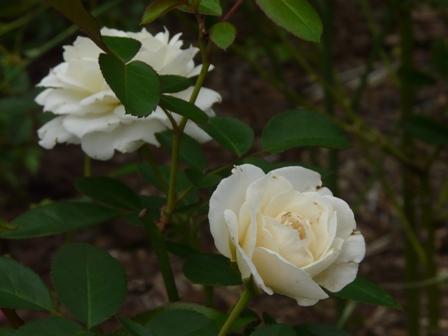 筑波実験植物園 バラ ファビュラス