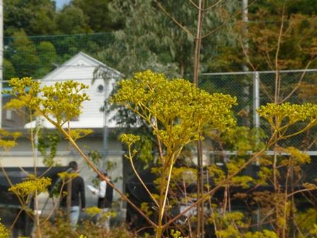 松山大学薬学部・薬用植物園 オミナエシ