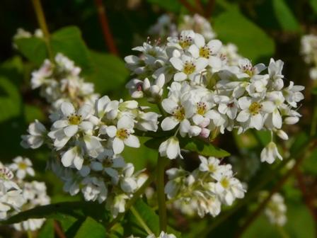 久谷町 ソバの花 1