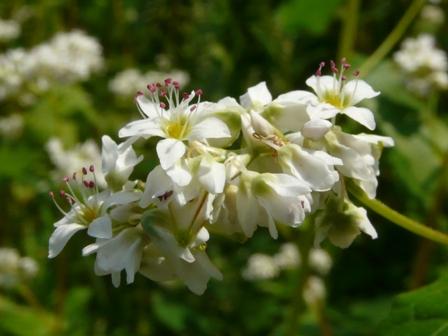 久谷町 ソバの花 2