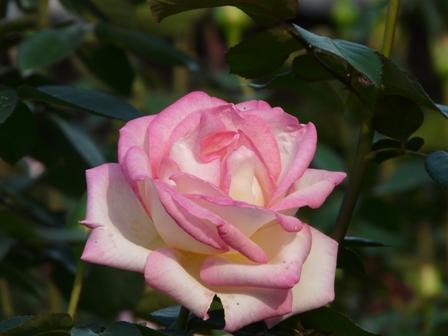 バラ プリンセスドモナコ