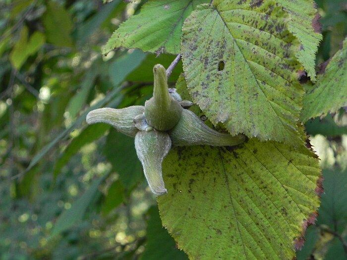 ツノハシバミa
