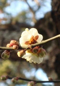 北野梅京都雪 033