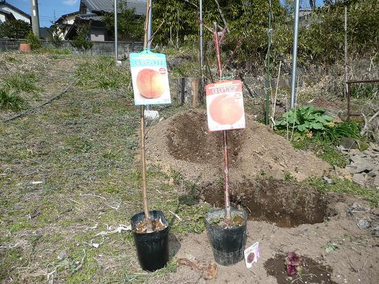 白鳳・白桃を植える 10,2,24 004