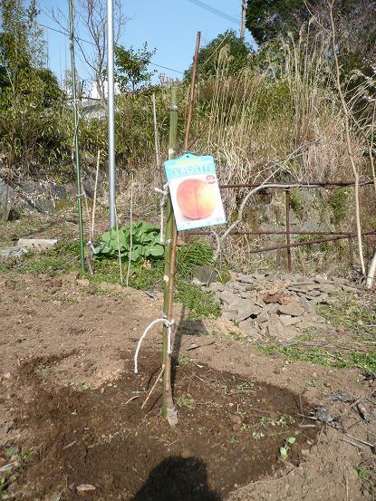 白鳳・白桃を植える 10,2,24 015