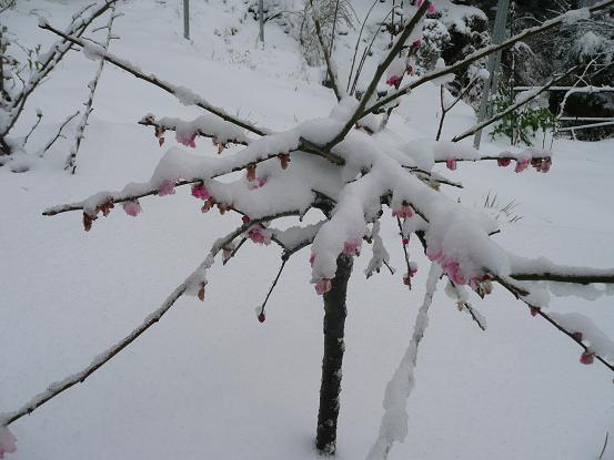 三月の忘れ雪 10,3,10 008