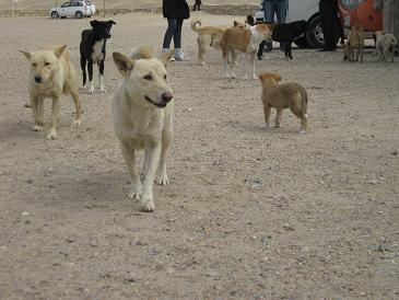 エジプト旅行:サッカラ 犬