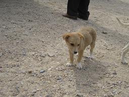 エジプト旅行:サッカラ 子犬