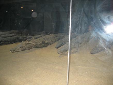 エジプト旅行:コムオンボ神殿 ワニのミイラ