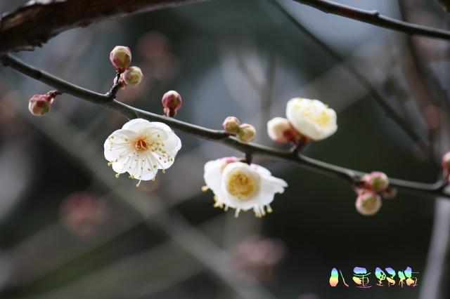 HDK-yaeyabai