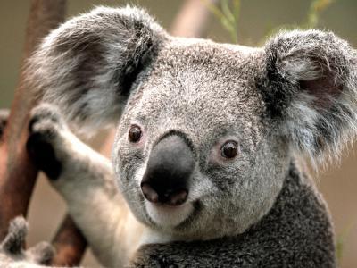 Koala_110731.jpg