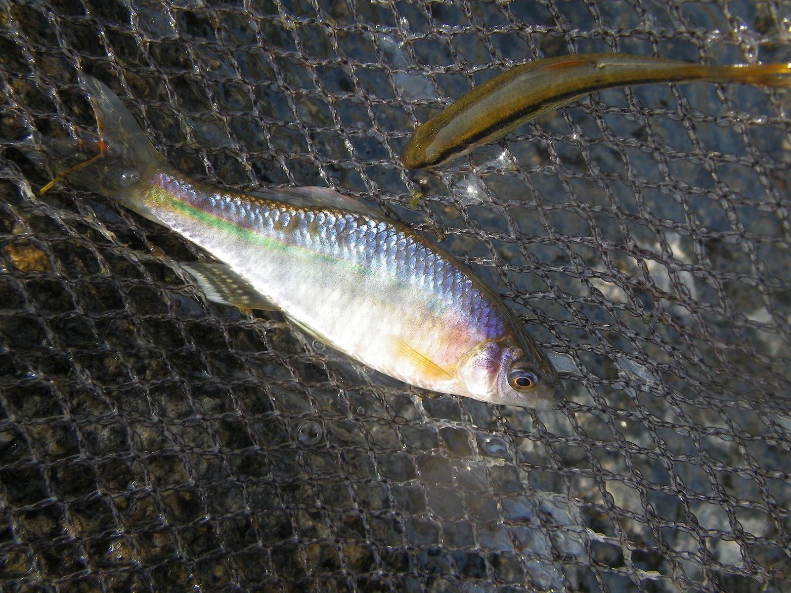 줄납자루(ジュルラプジャールー 和名チョウセンイチモンジタナゴ Acheilognathus yamatsutae)